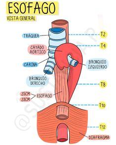 Medicine Notes, Medicine Student, Studying Medicine, Nursing School Notes, Human Anatomy And Physiology, Medical Anatomy, School Study Tips, Med Student, Medical Science
