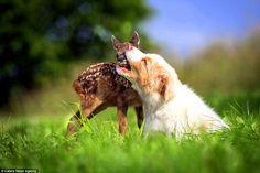 Australian Shepherd Puppy Adopts Orphaned Fawn