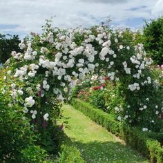 Adelaide d'Orleans; David Austin-recommended rose. A hardy, medium rambler with a light, delicate fragrance. Ideal for arbors and pergolas.