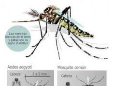 Ensayo: Aedes Aegypti