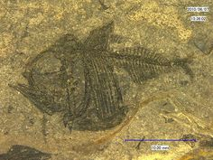 Argyropelecus cosmovicii (Cosmovici & Pauca 1943), Oligocene, Krepak…