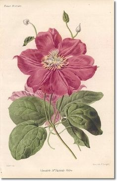 Revue Horticol - Botanical Prints - Illustrated Book Plate Illustration from Revue Horticole 1800s - Botanical Print -  05 - CLEMATIS Painting
