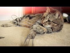 Wolverine's Cat Goes Through A Lot of Scratching Posts