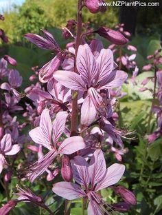 "flowers zone 3 | Green Girly: Zone 3 Flowers: Gas Plant (Dictamnus albus ""var ..."