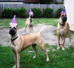Celebrate!!   (L) Jennie  (C) Shelby and (R) Henry - #Great #Dane