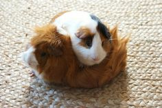 Two too-cute guinea pigs, both male, named Hugo (top) & Mrs. Hooverson (Abyssinian below)     Mrs. Hooverson is an awesome name :)