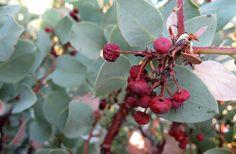 How to Eat Manzanita Berries --- Photo by Hank Shaw