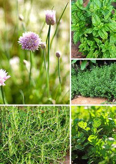 Tips for Growing a Culinary Herb Garden - from @Amy Lyons Lyons Lyons Lyons Johnson / She Wears Many Hats