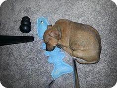 St. Louis, MO - Pit Bull Terrier/Labrador Retriever Mix. Meet Cartman, a puppy for adoption. http://www.adoptapet.com/pet/11507776-st-louis-missouri-pit-bull-terrier-mix