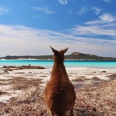 A kangaroo gazes over Lucky Bay in Western Australia, an area known for it's picturesque beaches