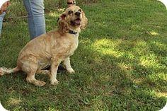 Mt. Vernon, IL - Cocker Spaniel Mix. Meet Poo, a dog for adoption. http://www.adoptapet.com/pet/13674679-mt-vernon-illinois-cocker-spaniel-mix