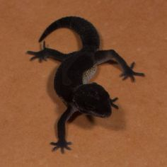 Sunset Leopard Gecko 'Vesper' Black Night