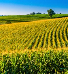 """To the left a cornfield carries into the distance, dips and rises to the blue sky, a rolling plain of green and healthy plants aligned in close order, row upon row upon row."