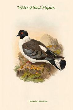 White-Billed Pigeon - Columba Leuconota, by John Gould