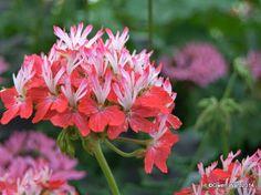 """Lipstick"" Stellar Pelargonium"