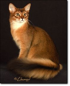 Somali Cat, I just cannot get over their tails. Ahh so gorgeous.