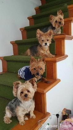 Things we admire about the Brave Yorkshire Terrier Dog Yorkies, Yorkie Puppy, Little Dogs, Chien Yorkshire Terrier, Yorkshire Dog, Cute Puppies, Cute Dogs, Poodle Puppies, Lab Puppies