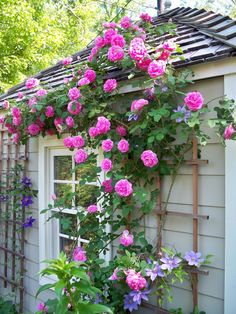 Gertrude jekyll rose and clematis