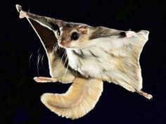"""Voisin de l'écureuil au nom curieux, le polatouche """"vole"""" grâce à des membranes logées entre ses pattes qui lui permettent de soutenir l'air. Kim Taylor, photographe britannique, a récemment publié une série de clichés du petit mammifère en plein saut. Ravissant ! (TAYLOR/CATERS NEWS AGENCY/SIPA)"""