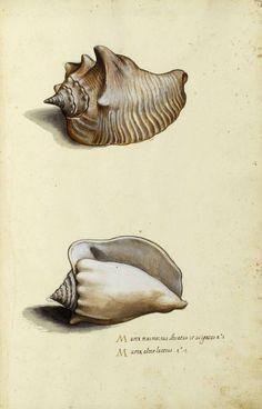 #conchology #shells #seashells