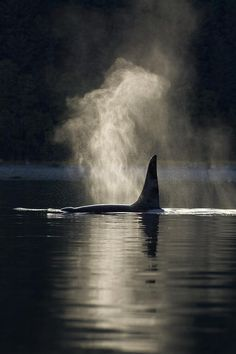 An Orca Whale exhales blows as it surfaces in Alaska's Inside Passage