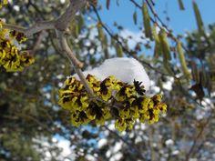 Zaubernuss+mit+Schneehäubchen Banner, Plants, Hoods, Website, Snow, Banner Stands, Plant, Banners, Planets