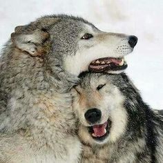 People don't realize how sweet wolves really are. Just big lovers