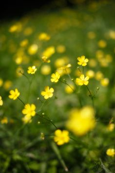 spring buttercups
