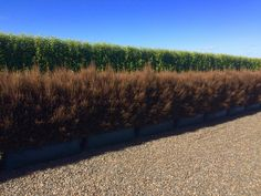 Our Coprosma 'Cappuccino' Living Walls™ hedge looks hard and twiggy but is actually quite soft to touch. It's also quite polarising for our customers visiting the nursery. So what do you think of brown hedges, yay or nay? Valley Nursery, Twiggy, Nurseries, Hedges, Grass, Country Roads, Touch, Water, Garden