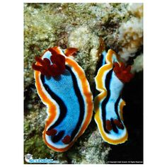 """scubaba:""""#Nudibranch Chromodoris Annae, #RajaAmpat, West Papua, Indonesia"""" #2 of @indahs_photography (scubaba.co/indah) #POTM. What's your favotire type of #Nudi to see?  #reef #coral #coralreef  #photographer #underwaterphotography  #uwphotography #ocean #scubadive #scuba #dive #scubadiver #underwater #plongee #buceo #diving #scubaba #immersione #подводное #mergulho #duiken #padi #tauchen #immersione #ダイビング #ダイビング #дайвинг #الغوص www.Scubaba.Com"""