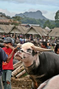 Expensive Carabao used in Rambu Solo Prosesion in Tana Toraja. Philippines, City Branding, Traditional Market, Leaving Home, Bali Travel, World Cultures, Borneo, Archipelago, Southeast Asia
