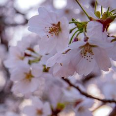 #Sakura (  #cherryblossom ) #fullbloom #yesterday in #Hyogo #Japan . welcome new quarter. 昨日は仕事帰りに #加古川 の #日岡山公園 に #桜 の #お花見 に満開でした重かったがカメラフルセット持っていった甲斐あった [ #Flower #photography  #Nikon ]