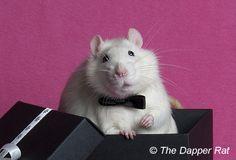 The Dapper Rat - lots of rat care info.