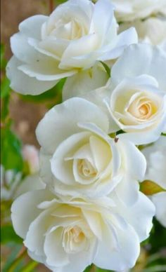 White romance favorite roses pinterest rose white roses and white roses gold centers to remember a life lived for others a love that lives on mightylinksfo