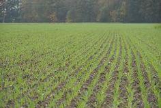 Getreide: Ungräser und Unkräuter im Herbst bekämpfen!. Unkrautbekämpfung im Herbst hat wesentliche Vorteile. Vineyard, Outdoor, Grains, Benefits Of, Interesting Facts, Landscape, Autumn, Outdoors, Vine Yard