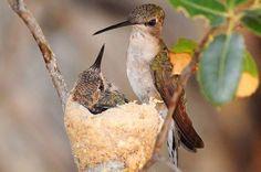Invite Hummingbirds to Nest!