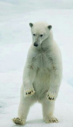 Dancing Polar Bear!