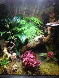 Custom Tropical habitat with Zoo Med's Cork Background, Moss, and Mopani Wood.