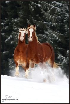 Winterzeit - Bild & Foto von Sonja. Wilde aus Pferde, Esel, Maultiere - Haflingers?