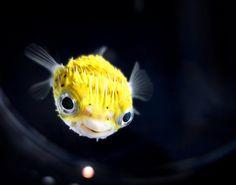 juvenile porcupine fish. so cute!!