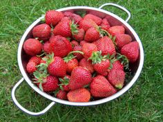 Strawberries. The best strawberry variety for flavour?  Aromel is ours every time.