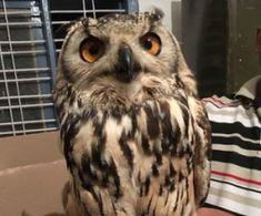 Rock eagle owls rescued from wildlife trafficking racket    India