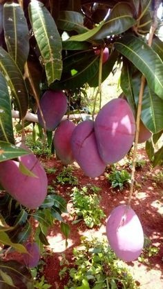 About all things that improve your health and wellness: Health benefits of mango: