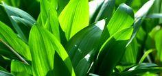 Wild Garlic ramsons forage forager foraging free food in the wild uk sustainability thrifty Water Spinach, Spinach Salad, Wild Garlic, Whole Wheat Bread, Edible Plants, Allium, Alternative Energy, Korn, Kraut