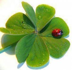 A four-leaf clover, the anomaly that's good for us, and the ladybug … - Baby Animals Adorable Best of 2019 Four Leaves, Beautiful Bugs, Gif Animé, Four Leaf Clover, Flower Power, Baby Animals, Plant Leaves, Creatures, Birds