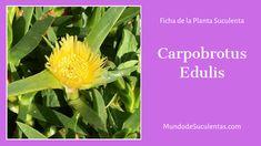 Carpobrotus Edulis - Fichas de Plantas Suculentas Cactus Y Suculentas, Succulents, Cacti, World, Flowering Plants, Ice Plant, Fast Growing Plants, Yellow Flowers, Mail Boxes