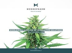 It is our pleasure to present you two new hemp-strains, which exhibit no psycho-active effects. This is ensured by a high cannabidiol (CBD) content with only trace amounts of tetrahydrocannabinol (Δ9-THC <0.8%). As pioneers regarding the introduction of medicinal cannabis into medical therapies, it is our main focus to guarantee an uncomplicated and reliable treatment to patients suffering from various afflictions. #thc #medicalcannabis #cannabidiol #cbd #marijuana #medicalmarijuana Medical Cannabis, Exhibit, Hemp, Content, Medicine