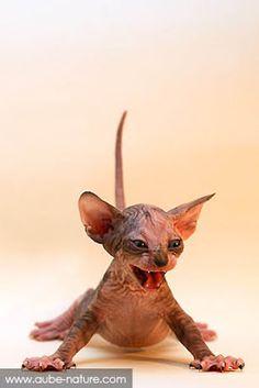 GRRRR, je t' fais peur ou...pas ? / Sphynx ou chat nu.