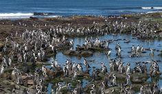 Punta Tombo, en la costa de la provincia de Chubut Argentina, recibe cada primavera austral a unas 200.000 parejas de pingüinos de Magallanes.