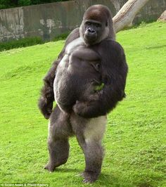 Silverback Gorilla Fight | kind of man: Ambam has become an internet hit after teaching himself ...